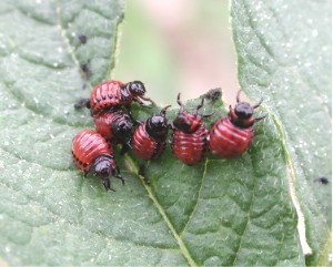 Potato_beetle_larvae